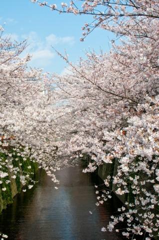 中目黒 レンタルスタジオ の近くにある目黒川の桜